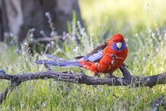 Rosella Parrot carmesí Foto de archivo libre de regalías