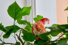 Rosella parrot color ruby sitting on a branch of a Chinese rose. royalty free stock images