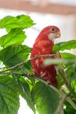 Rosella parrot color ruby sitting on a branch of a Chinese rose. stock images
