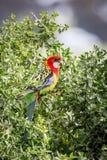 Rosella Resting oriental selvagem, parque histórico das florestas, Victoria, Austrália, em setembro de 2016 imagem de stock royalty free