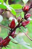 Rosella rossa, alimento sano e medicina di erbe alternativa Fotografia Stock