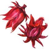 Rosella rossa, hibiscus sabdariffa, fiore della frutta, pianta, isolata, illustrazione dell'acquerello su bianco royalty illustrazione gratis