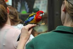 Rosella Snacking at Seattle`s Woodland Park Zoo royalty free stock photos