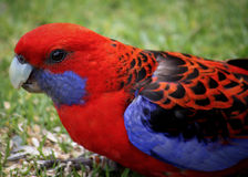 Rosella Up Close cramoisie Image stock