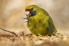 Rosella vert - le caledonicus de Platycercus ou le rosella tasmanien est des espèces d'indigène de perroquet aux îles de la Tasma photographie stock