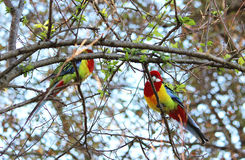 Rosellas Obraz Royalty Free