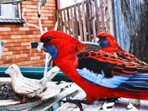 Rosellas carmesins australianos fotos de stock royalty free