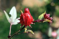 Roselle Royalty Free Stock Photo