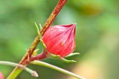 Roselle bär fruktt på tree i trädgården, Thailand Royaltyfria Bilder