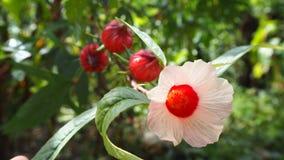 Roselle blomma Fotografering för Bildbyråer