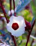Roselle-Blume Lizenzfreies Stockbild