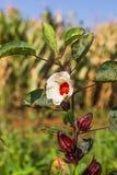 Roselle eller hibiskussabdariffa Arkivfoton