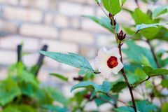 Roselle Flower. Bloom in early morning Stock Photos