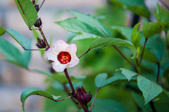 Roselle Flower. Bloom in early morning Royalty Free Stock Images