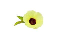 Roselle flower Royalty Free Stock Photo