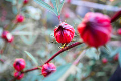 Roselle flowers in the garden Royalty Free Stock Photo