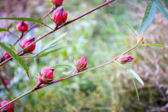 Roselle flowers in the garden Royalty Free Stock Photos