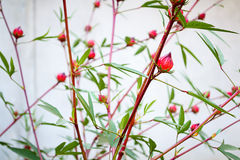 Roselle flowers in the garden Stock Images