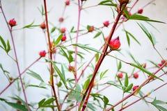 Roselle flowers in the garden Stock Images