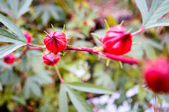 Roselle flowers in the garden Royalty Free Stock Images