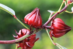 Roselle flowers Stock Photos