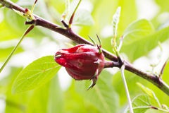 Roselle fruit on plant Royalty Free Stock Image