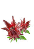 Roselle fruits Royalty Free Stock Image