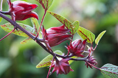Roselle fruits Stock Photography