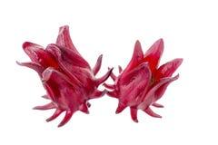 Roselle Hibiscus sabdariffa red fruit flower on white background Royalty Free Stock Image