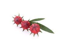 Rosellefruit op witte achtergrond wordt geïsoleerd (het fruit dat van Thailand) Royalty-vrije Stock Afbeelding
