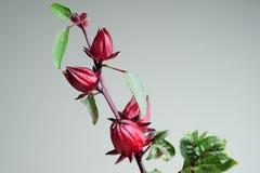 Rosellevruchten op boom royalty-vrije stock afbeelding