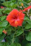 Rosemallows är en orientalisk blomma växt arkivbild