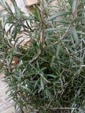 Rosemarine roślina zdjęcie stock