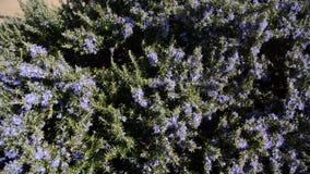 Λουλούδια της Rosemary Εγκαταστάσεις της Rosemary στην εποχή λουλουδιών που ανθίζουν την άνοιξη Χορτάρι της Rosemary με την πορφύ φιλμ μικρού μήκους