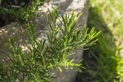 Rosemary - καρυκεύματα στοκ φωτογραφίες