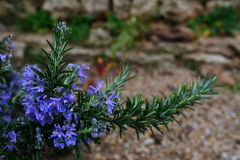 Rosemary με τα μπλε λουλούδια Στοκ εικόνα με δικαίωμα ελεύθερης χρήσης