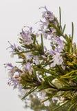 Rosemary με τις σταγόνες βροχής στα λουλούδια Στοκ Φωτογραφίες