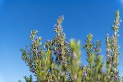 Rosemary στο λουλούδι στοκ φωτογραφίες με δικαίωμα ελεύθερης χρήσης