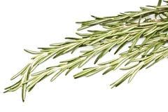 rosemary травы пряный Стоковые Изображения RF