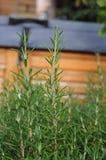 rosemary травы Стоковые Изображения RF