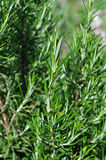 Rosemary. Plant on a sunny day Royalty Free Stock Photography