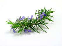 Rosemary Photo stock