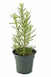 Rosemary. Growing in a pot isolated on white background in vertical format Royalty Free Stock Image