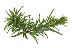 Rosemary. Branch. Aromatic plant isolated on white Stock Photo