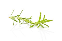 Rosemary. Stock Image