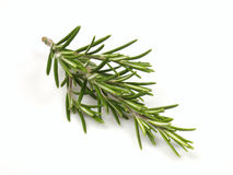 Rosemary. Sprig of rosemary in the studio Stock Photos