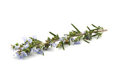 Rosemary Royalty Free Stock Photo