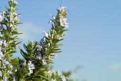 Rosemary. On the blue sky stock photography