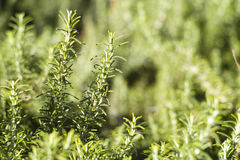 Rosemary. Wild Rosemary plant detail texture Stock Photos