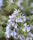 Rosemary Foto de Stock Royalty Free